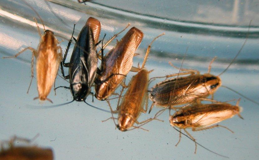 บริษัทรับกำจัดแมลงสาบเยอรมัน ชลบุรี